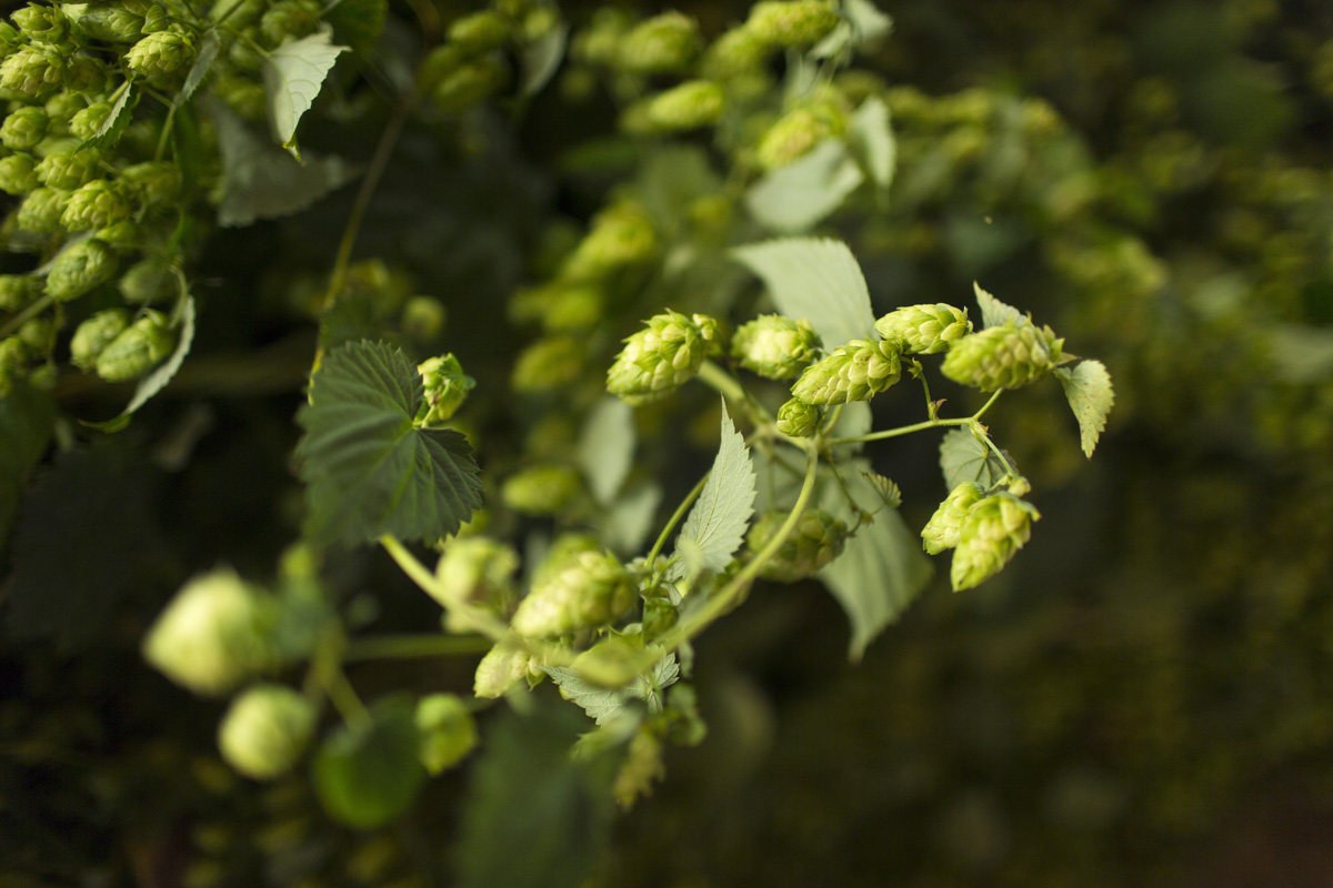 Hops in Siegertszell, Bavaria, Germany.