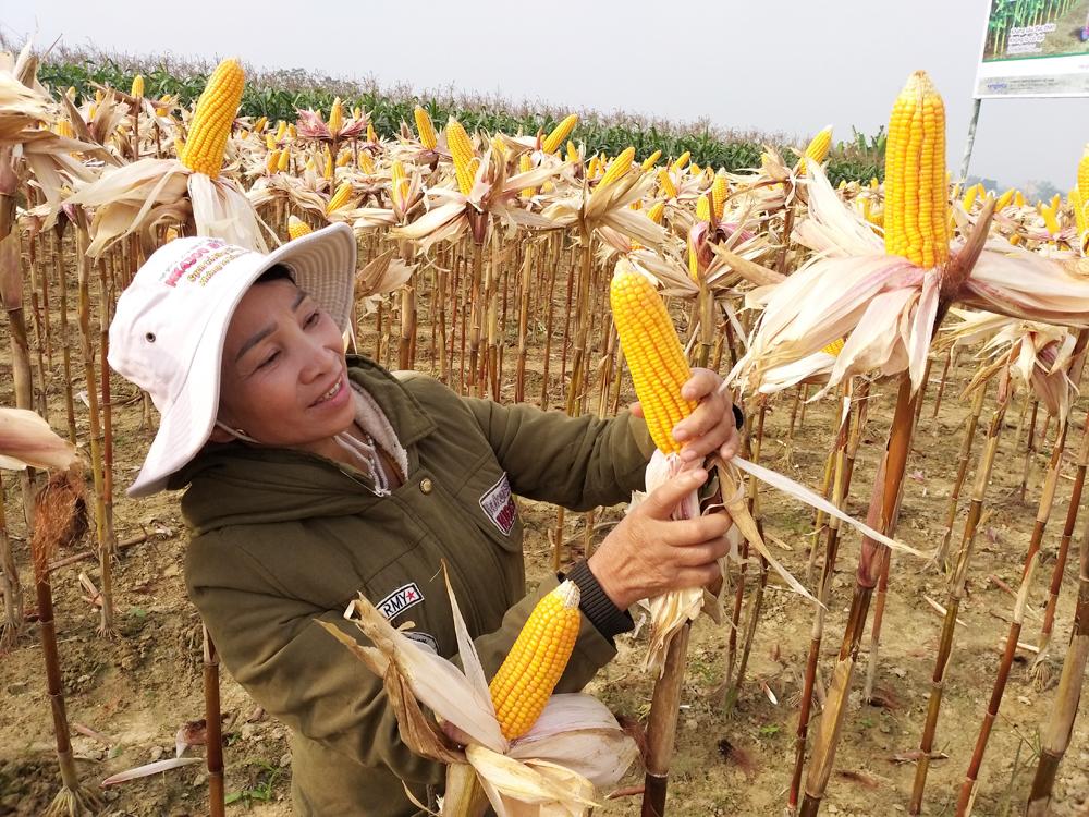 Nông dân bên ruộng trồng giống ngô chuyển gen NK4300 BT/Gt