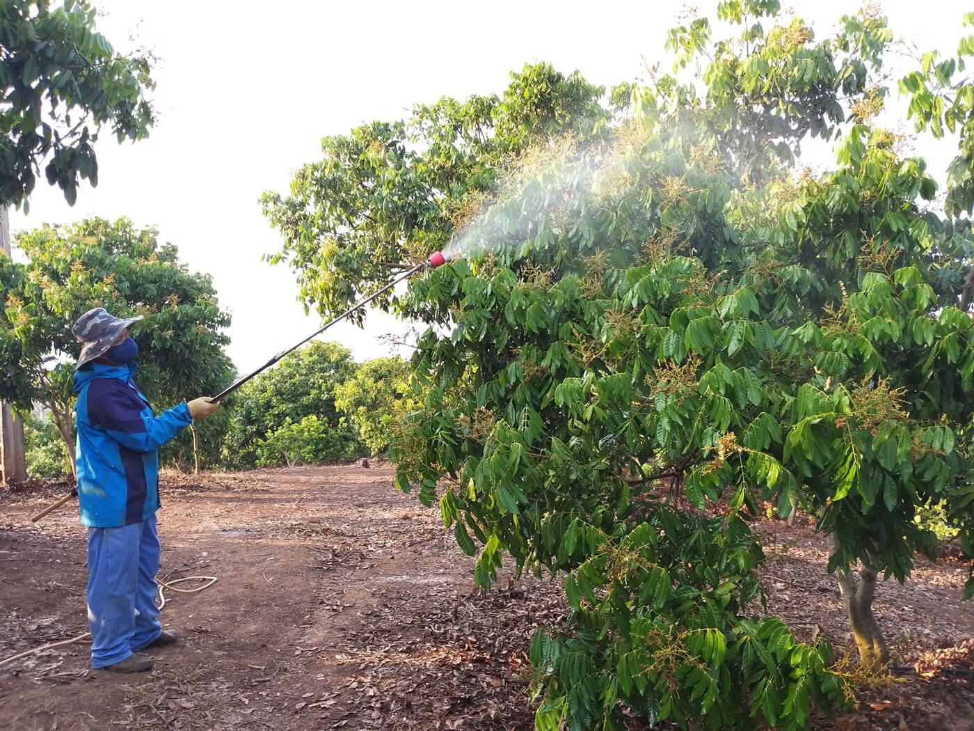 Nông dân thực hiện việc phun thuốc BVTV cho các diện tích nhãn xuất khẩu ở xã Lóng Phiêng, huyện Yên Châu (Sơn La).