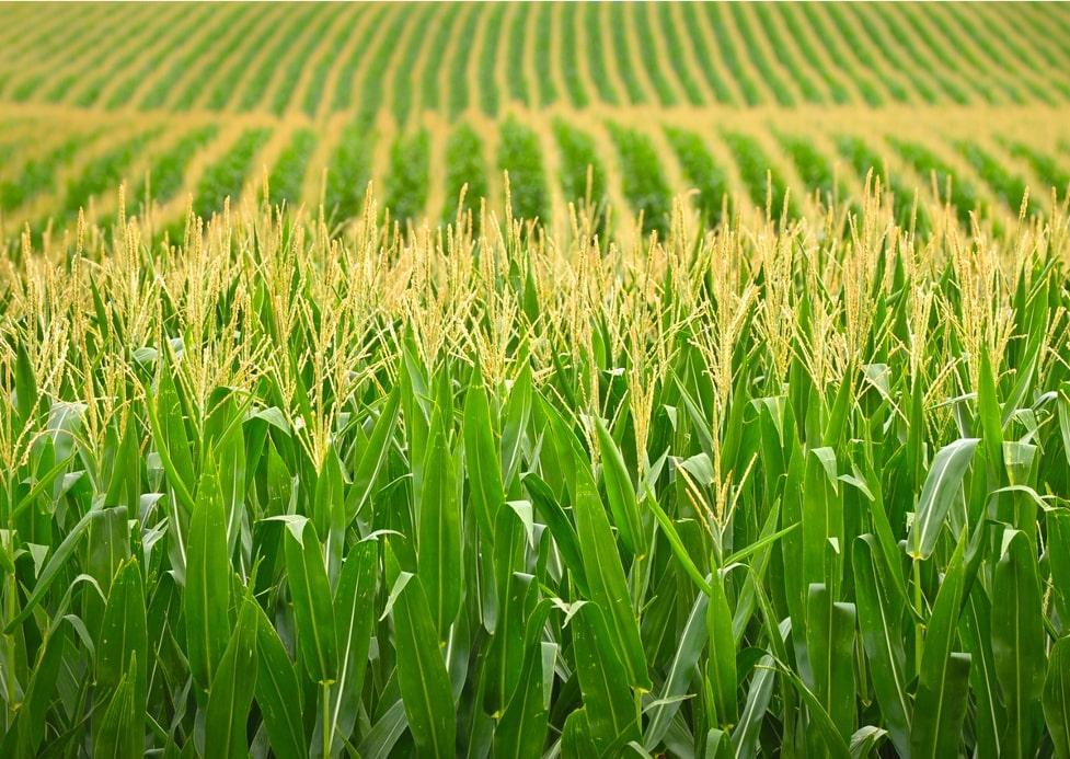 Ảnh: 04 loại ngô BĐG có mặt trong danh sách cấp phép làm thực phẩm, thức ăn chăn nuôi của Liên minh Châu Âu - Nguồn: ISAAA