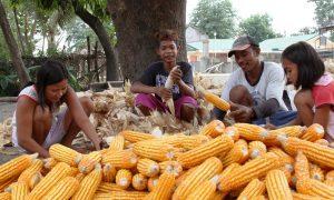 460.000 nông hộ Philippines gia tăng thu nhập nhờ trồng ngô CNSH