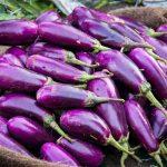 Nông dân trồng cà tím tại Bangladesh hưởng lợi từ công nghệ gen