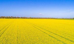 Úc chính thức dỡ bỏ lệnh hạn chế cây trồng BĐG tại bang NSW