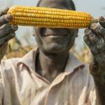 Nông dân Uganda mong muốn được canh tác ngô Bt  chống sâu keo mùa thu