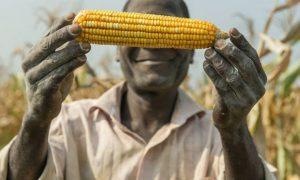 Nông dân châu Phi mong chờ các giống cây trồng ứng dụng CNSH