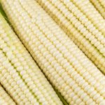 Cây trồng biến đổi gen giúp đẩy mạnh an ninh lương thực ở Châu Phi