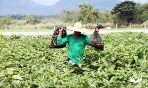 Philippines phê duyệt cà tím biến đổi gen làm thực phẩm trực tiếp, thức ăn chăn nuôi và trong chế biến