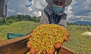 """Philippines trở thành quốc gia đầu tiên phê duyệt thương mại """"Gạo vàng"""""""