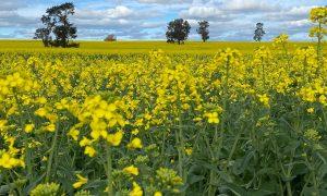 Bang New South Wales (Úc) dỡ bỏ lệnh hạn chế cây trồng biến đổi gen
